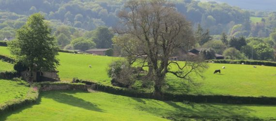 Ash tree in the countryside
