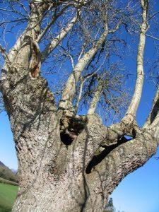 Veteran ash tree at Colyton Copyright Chris Woodruff
